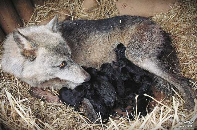 Litter of Wolves
