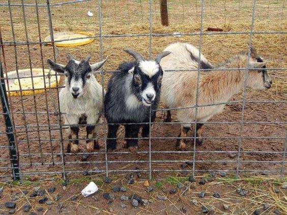 Goats WEB