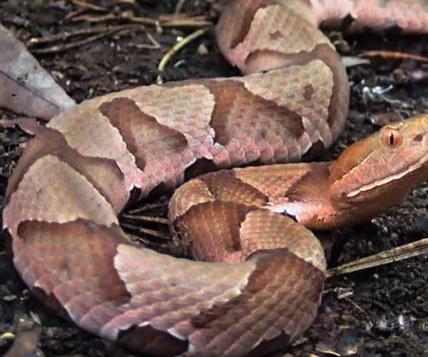 FCN_Copperhead_061718_web