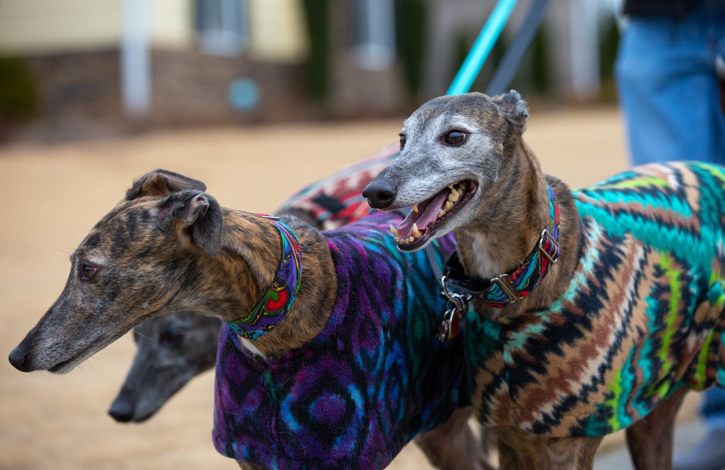 Thousands Of Greyhounds Are About To Need Homes These Owners Say They Re The Perfect Dog Forsyth News