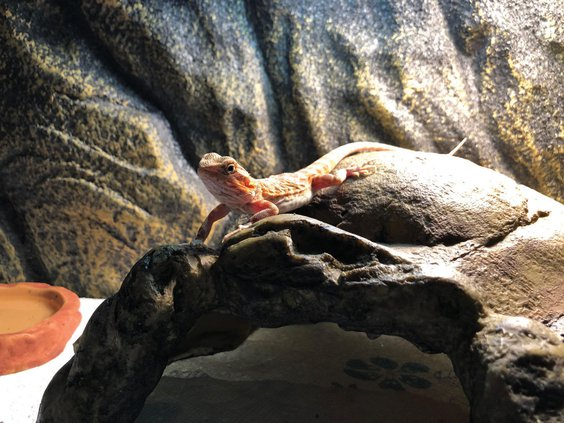red translucent hypo leatherback bearded dragon