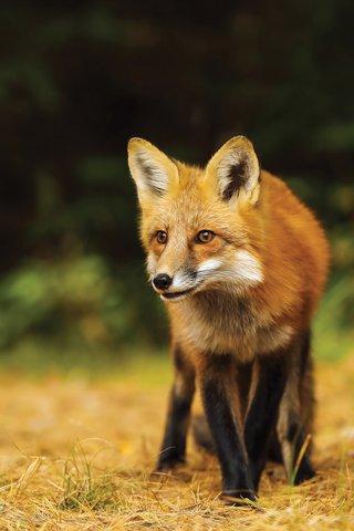 Rabid fox identified in north Forsyth County - Forsyth News