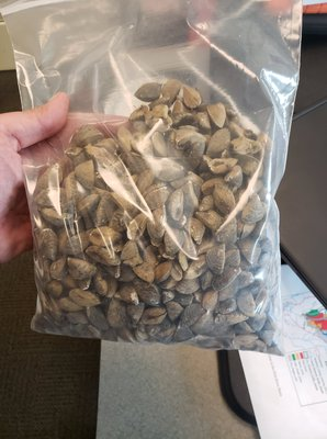 Zebra Mussels.jpg