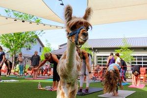 Farm Animal Yoga